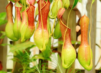 Nepenthes ventrata, a tropical pitcher plants.