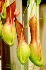 Nepenthes Alata, a carnivorous Plant.