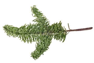 evergreen tree isolated branch