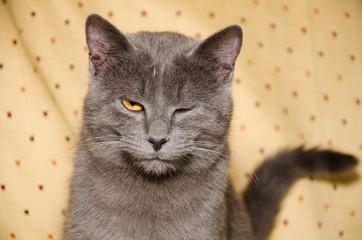 Gatto certosino fa l'occhiolino