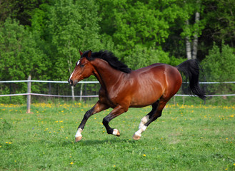 Bay horse running on a paddock
