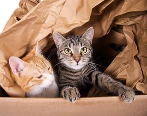 Zwei Katzen im Karton
