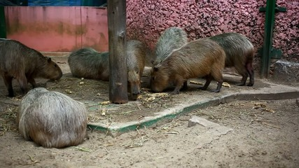 Capybara eating in zoo. HD. 1920x1080
