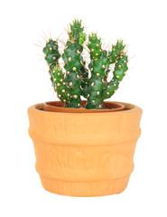 Cactus on isolated background ( Cereus hexagonus Mill )