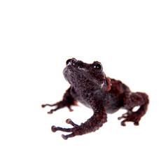 Theloderma gordoni, rare spieces of frog on white