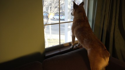 Dog Securing the Area Looking out Window