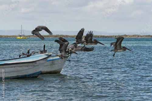 canvas print picture Pelican while flying