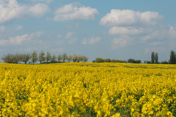 Rapeseed flowers with blue sky and clouds.