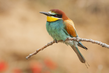 European bee-eater. Merops apiaster