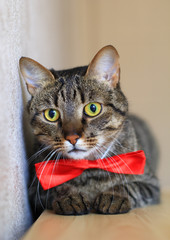 tabby cat in bow tie yellow eyes