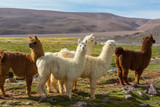Llama - Fine Art prints