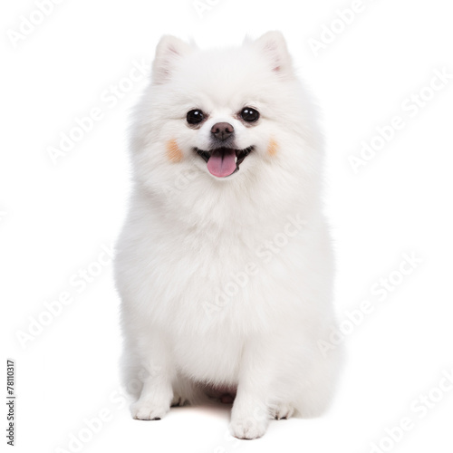Young Pomeranian smile