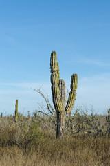 desert cactus in mexico