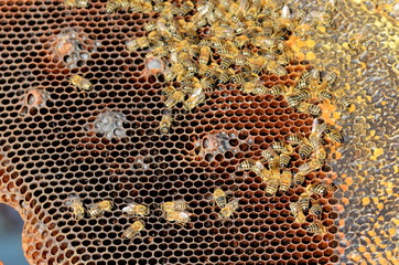 Bees take care of the larvae - their new generation