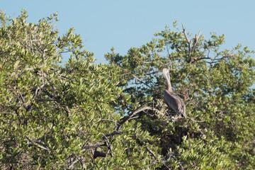 Pelican on branch. Island Margarita, Venezuela