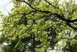 branch of oak tree at spring