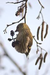 lucherino (Carduelis spinus) su ramo di ontano nero