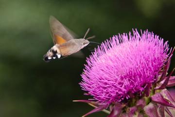 Sfinge del galio (Macroglossum stellatarum) in volo librato