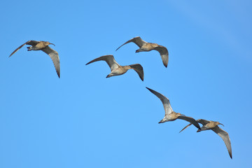 stormo di chiurlo maggiore (Numenius arquata) in volo