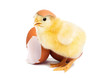 Cute yellow baby chick with egg