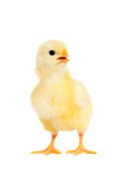 Adorable little chicken isolated