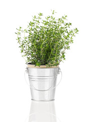thyme herb plant growing in a distressed pewter pot, isolated