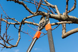 Fototapety pruning tree