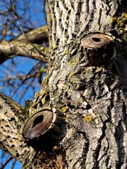 Hohler morscher Baum