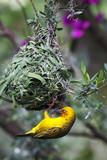 Kapweber (Ploceus capensis)