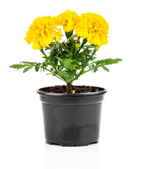 Marigold flower in pot on white background
