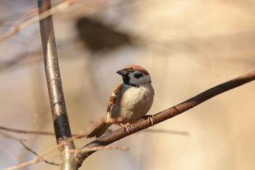 Eurasian Tree Sparrow (Passer montanus) on a twig