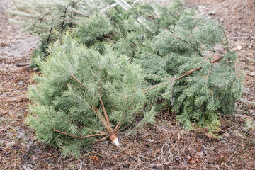 Thrown out Christmas trees