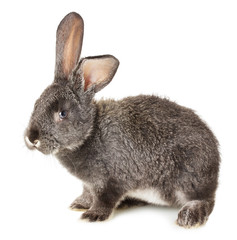 grey rabbit isolated on the white background