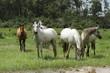 Obrazy na płótnie, fototapety, zdjęcia, fotoobrazy drukowane : chevaux au pré