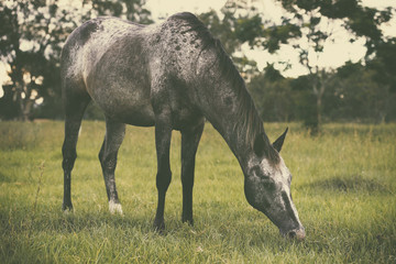 Single horse grazing in the outback, in Brisbane - Queensland.