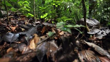 Checkerbelly Snake (Siphlophis cervinus), Ecuador
