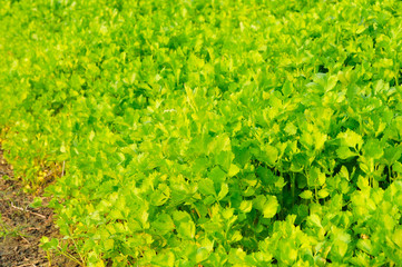 Celery garden
