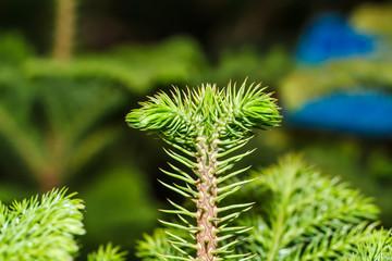 Pine tree macro closeup