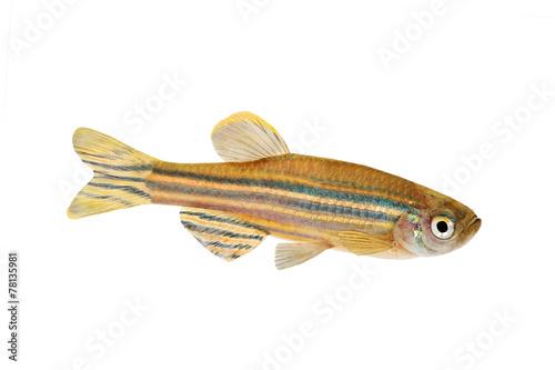 Leinwandbild Motiv Zebrafish Zebra Barb Danio rerio freshwater aquarium fish