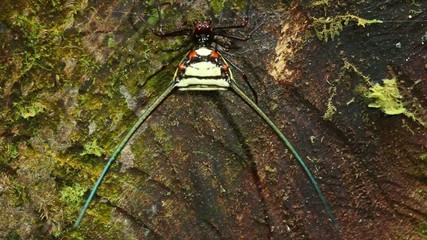 Spiny orb weaver spider (Gasteracantha sp.), Ecuador
