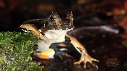 Perez's Snouted Frog (Edalorhina perezi)