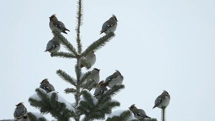 冬の渡り鳥・キレンジャク_2_スーパースローモーション