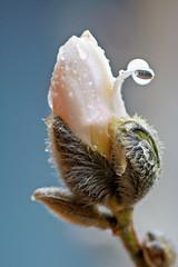 Magnolia Bud profile