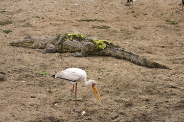 yellow billed stork and crocodile Kruger