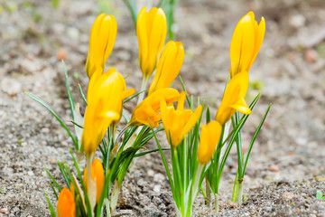 Golden crocuses with closed flowers