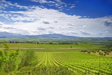 Vineyards in Tuscany. Italy