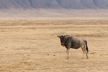 Lone wildebeest standing