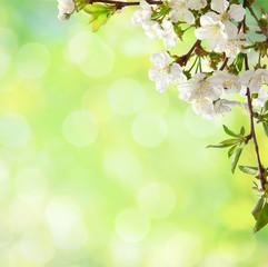 Сherry  blossom  in spring.
