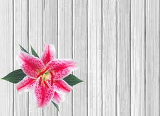 Beautiful pink lily on white wooden background