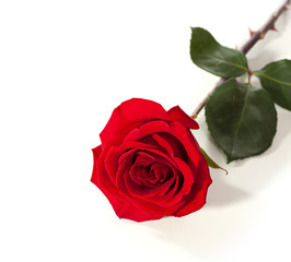 Red rose lying on a white background.